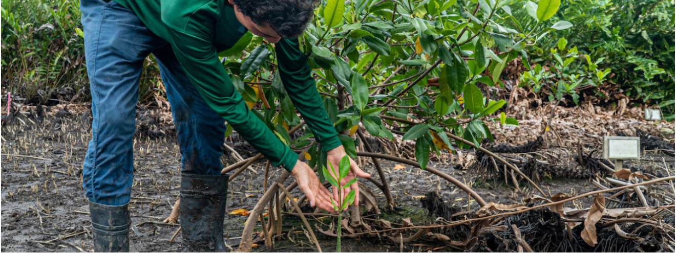 Mangrove forest restoration boosts Costa Rica communities